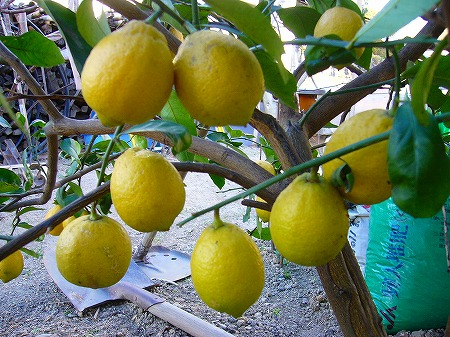 1月のレモン2