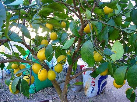 1月のレモン1