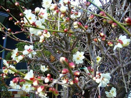 白梅開花1