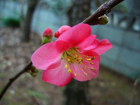 2月ボケの花