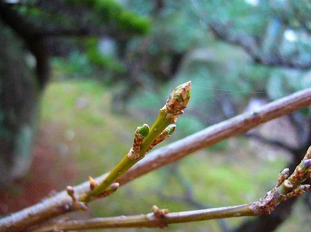 冬芽レンギョウ