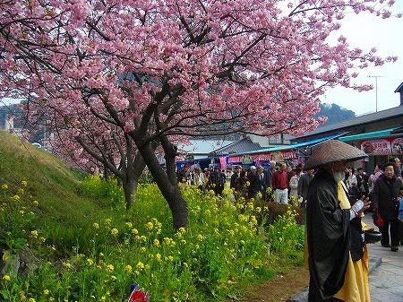 河津桜と托鉢