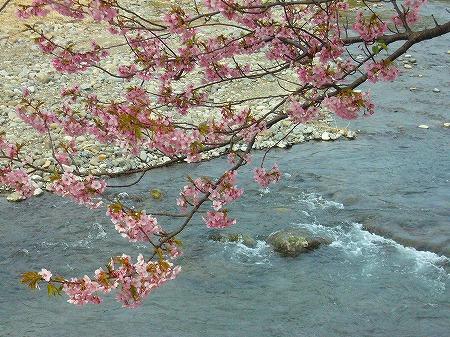 河津桜とせせらぎ