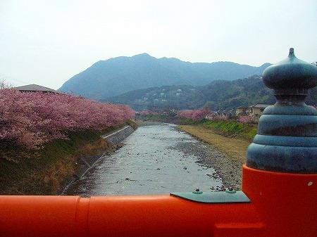 欄干から河津桜と川