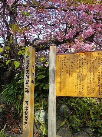 川津桜原木1