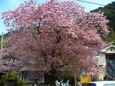 川津桜原木2