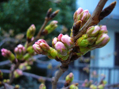 桜つぼみ3