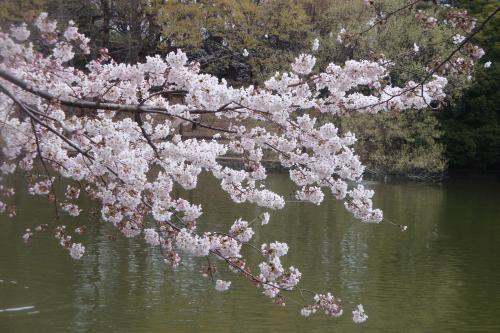 100403-201桜1(縮小)