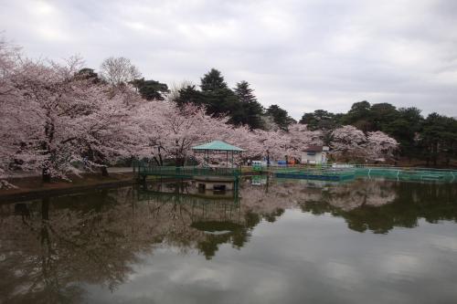 100403-203桜3(縮小)