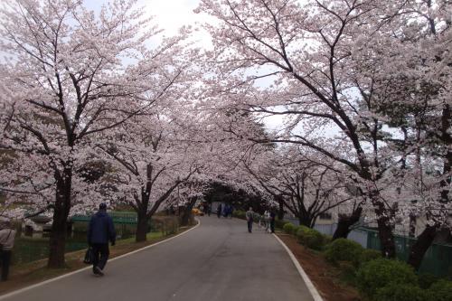 100403-204桜4(縮小)