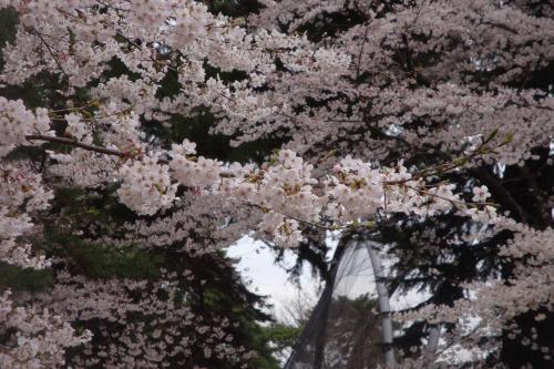 100403-205桜5(縮小)