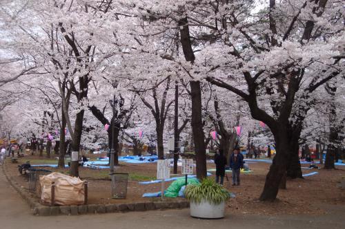 100403-206桜6(縮小)