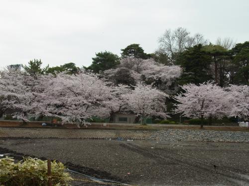 110410-001大宮公園(縮小)