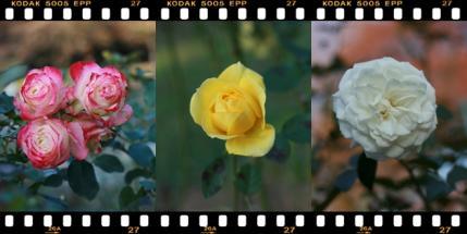 薔薇が咲いた~♪