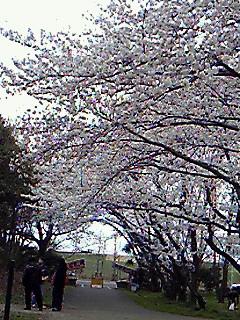 201004041451000sakura.jpg