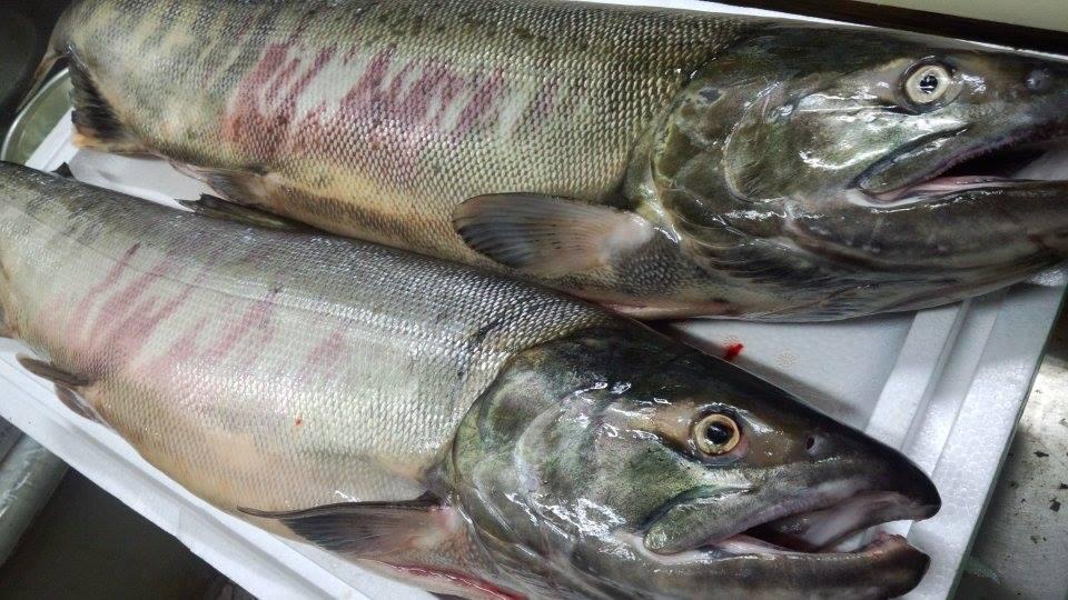 荒川の恵み 鮭 塩引き鮭 新潟村上