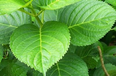 葉っぱ 緑 植物 紫陽花