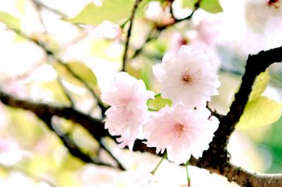 桜 植物 木 花 春 季節