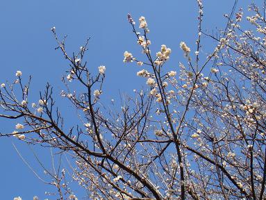 梅が青空にくっきり