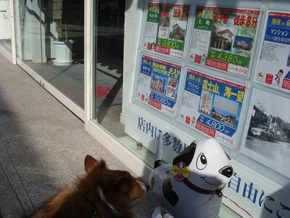 不動産屋さんの看板犬?