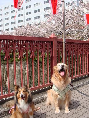 みちのくひとり旅・・・じゃなく目黒川2ワン散歩