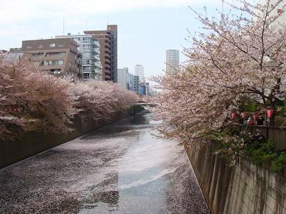 桜色に染まる目黒川