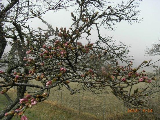 桜、遅いです