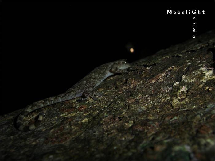moonlight gecko