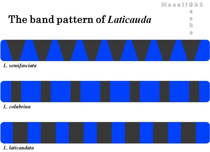 The band pattern of Laticauda