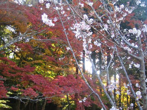 コピー ~ 百済寺桜MG_8543