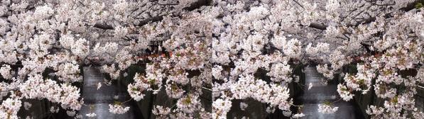 中目黒桜①(平行法)