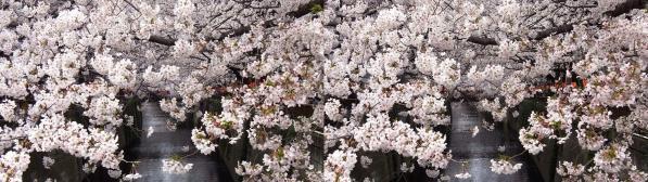 中目黒桜①(交差法)