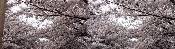 中目黒桜④(平行法)