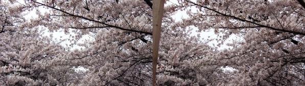 中目黒桜④(交差法)