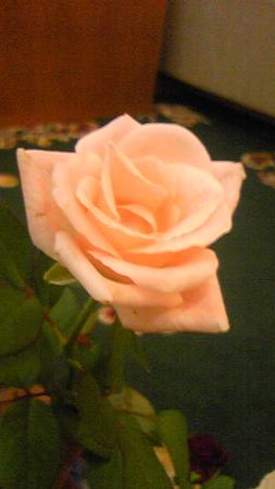 20100905 HHS ピンクのバラ