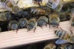 ミツバチ顔