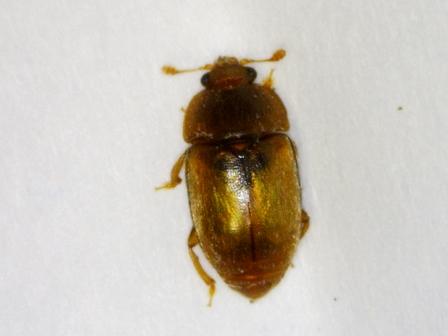 bug in N pilifera