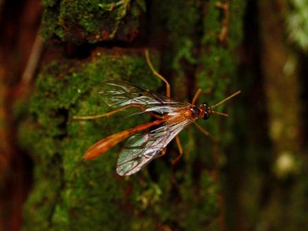 2サキグロホシアメバチ