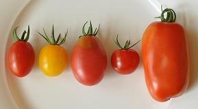 トマト2011-2