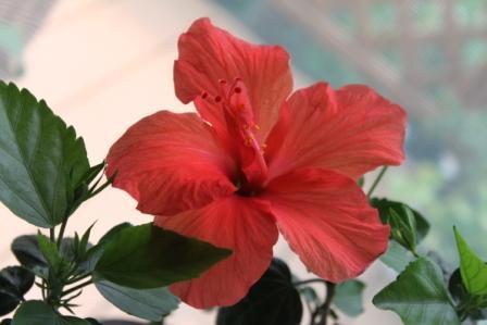 鉢植えのハイビスカス―花が開いて、1日でしぼんでしまいます
