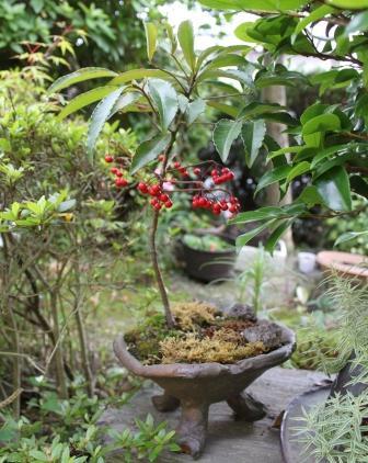 鉢植えの千両―庭の緑と調和しています