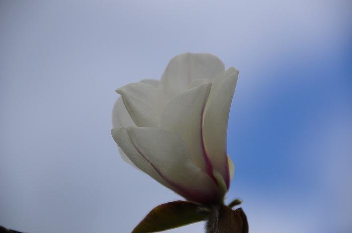 白木蓮 (3)