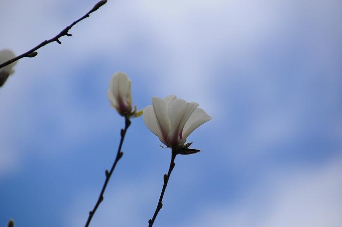 白木蓮 (5)