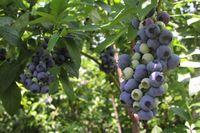 l_nanbu_blueberry.jpg