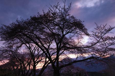 akegata-sakura.jpg