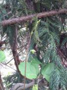 木の芽(あけびの新芽)