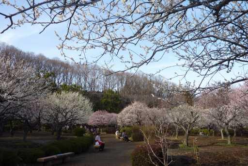 2010年 薬師池公園 梅