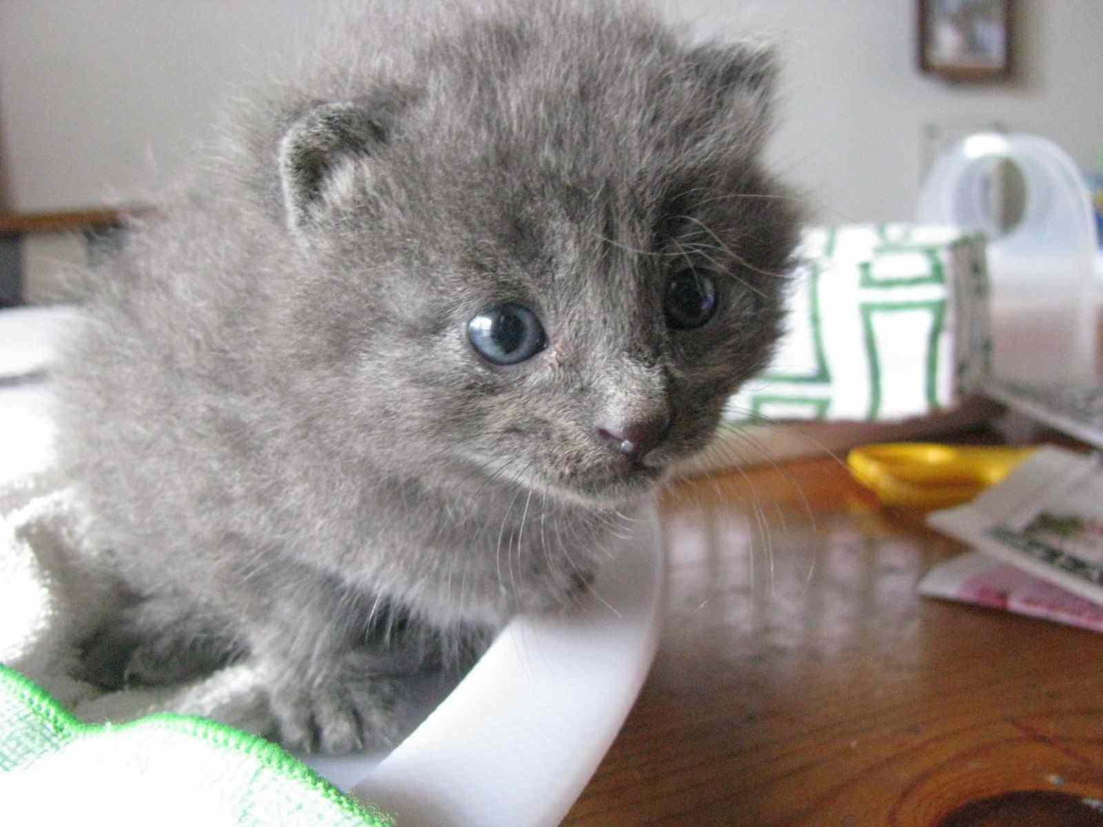 里親募集グレー子猫