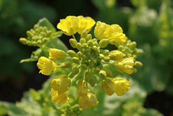 甘樫菜の花
