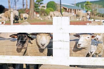 おなかすいてそうな羊